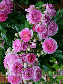 Роза плетистая  Жасмина ( саженцы )