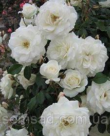 Роза плетистая Айсберг ( саженцы )