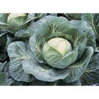 Капуста белокочанная поздняя Анкома F1 (Ancoma RZ) F1, 120-135 дн. 2500 семян