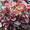 Салат дуболистный Руксай (Rouxai RZ) красный, 1000 семян, дражже