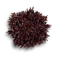 Семена салата Саланова/свит криспи Винтекс (Wintex) красный, 1000сем., дражже, Rijk Zwaan