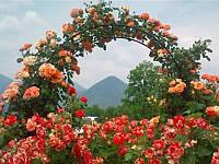 Роза плетистая Color Beauty