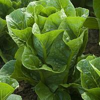 Ромен салат Рафаэл (Rafael RZ), 5000 семян, (мини ромэн),  дрожже