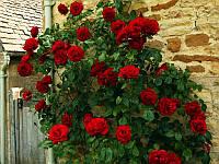 Роза плетистая  Найхеглют