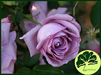 Роза плетистая Indigoletta
