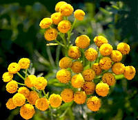 Цветки Пижмы обыкновенной 100 грамм (Tanacetum vulgare)