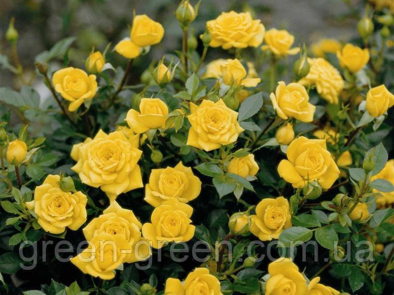 Роза бордюрная Goldy