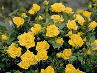 Роза бордюрная Goldy, саженец