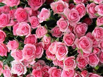 Роза бордюрная Lily Wendy