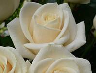 Роза спрей White Ledy