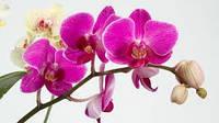 Поради при вирощуванні орхідей