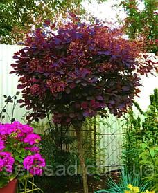 Скумпия кожевенная Рояль Пурпле  \ cotinus coggygria Royal Purple ( саженцы 2 года ) штамб 60-80см