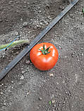 КС 206 F1 / KS 206 F1 - Томат Индетерминантный, Kitano Seeds, 500 семян, фото 2