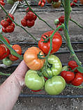 КС 206 F1 / KS 206 F1 - Томат Индетерминантный, Kitano Seeds, 500 семян, фото 3