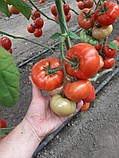 КС 206 F1 / KS 206 F1 - Томат Индетерминантный, Kitano Seeds, 500 семян, фото 4