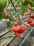 КС 206 F1 / KS 206 F1 - Томат Индетерминантный, Kitano Seeds, 500 семян, фото 5