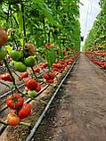 КС 206 F1 / KS 206 F1 - Томат Индетерминантный, Kitano Seeds, 500 семян, фото 6