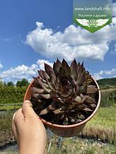 Sempervivum x hybridum 'BigSam Country Red', Молодило 'БігСем Кантрі Ред',C2 - горщик 2л
