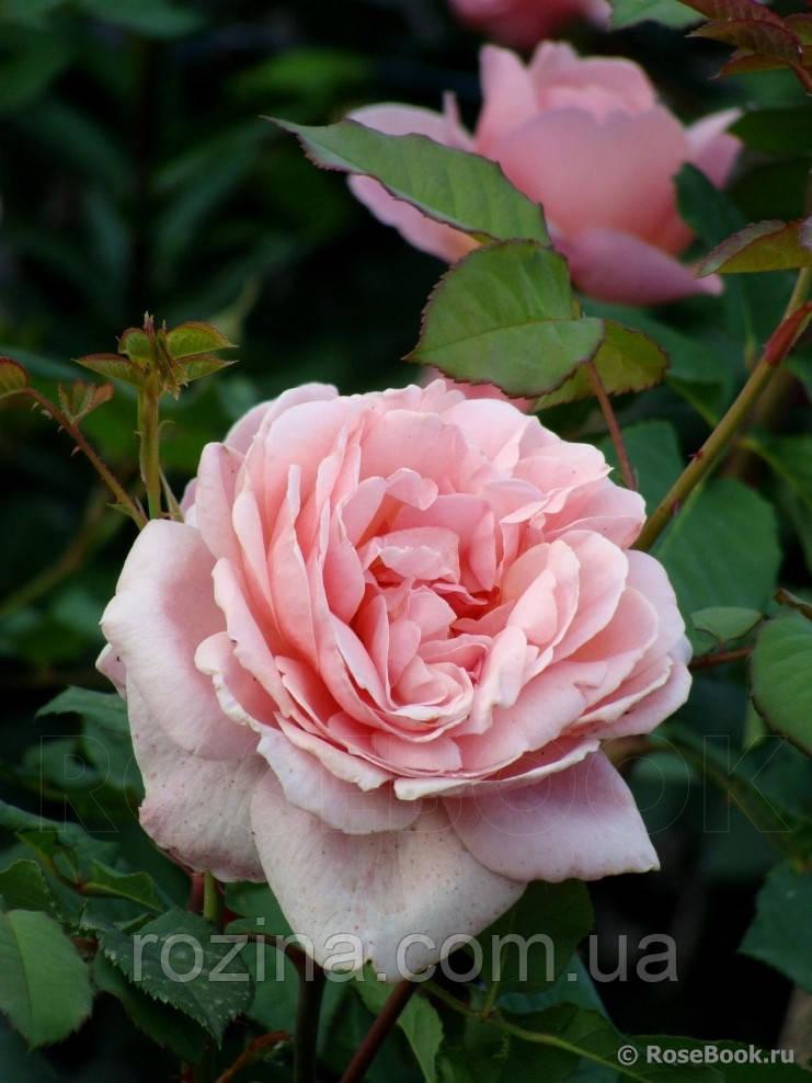 "Саженцы розы ""Франсис Блейз"""