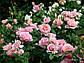 """Саженцы розы """"Франсис Блейз"""", фото 4"""