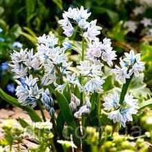 Пушкінія Blue (Scilloides) 5 шт./уп.