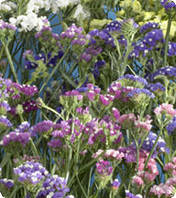 Семена цветов статицы  Mix 10г