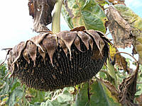 Семена подсолнечник сорт кондитерский Лакомка