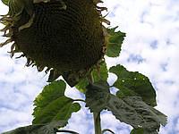 Насіння соняшник сорт кондитерський Горішок