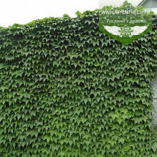 Parthenocissus tricuspidata 'Veitchii', Дівочий виноград тризагострений Віча,C2 - горщик 2л