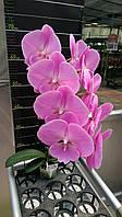 """Орхідея, горщик 2.5"""", без квітів. Сорт биглип 1089-23"""