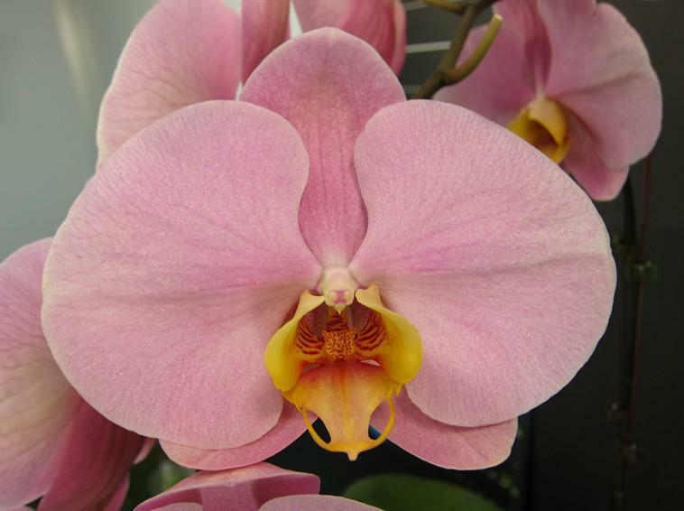 """Уцінка, дефект листя Орхідея, горщик 2.5"""", без квітів. Сорт Cpl59"""