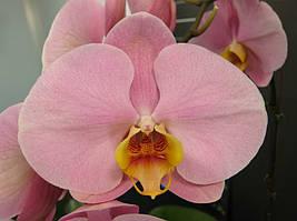 """Уценка, дефект листьев Орхидея, горшок 2.5"""", без цветов. Сорт Cpl59"""