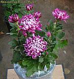 Саджанці хризантема Cosmo Purple (Космо Перпле) 3 саж у гір с2, фото 4