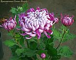 Саджанці хризантема Cosmo Purple (Космо Перпле) 3 саж у гір с2, фото 6