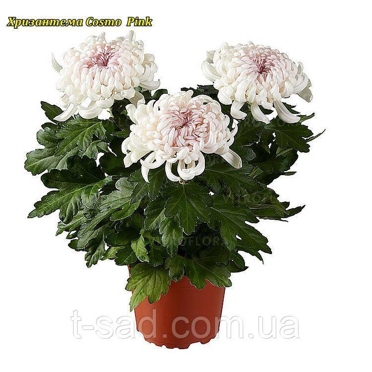 Саджанці хризантема Cosmo Pink (Космо Рінк) 3 саж у гір с2
