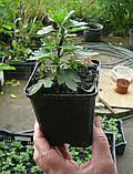 Саджанці хризантема Cosmo Pink (Космо Рінк) 3 саж у гір с2, фото 2
