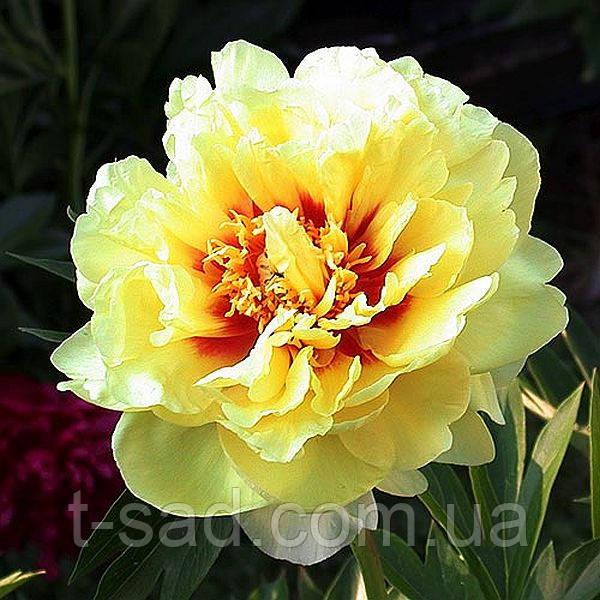 Пион Itoh Bartzella - лучший желтый в  мире  - Цветущий сад в Черкасской области