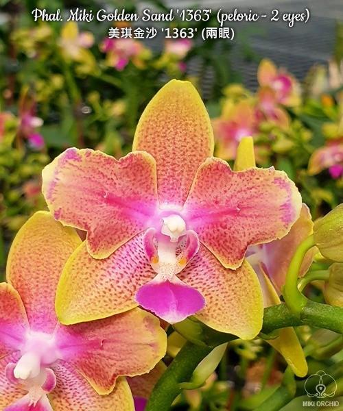 """Орхидеи. Сорт Phal. Miki Golden Sand peloric, горшок размер 2.5"""" без цветов"""