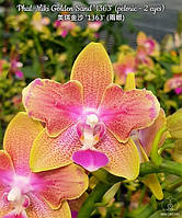 "Орхидеи. Сорт Phal. Miki Golden Sand peloric, горшок размер 2.5"" без цветов, фото 1"
