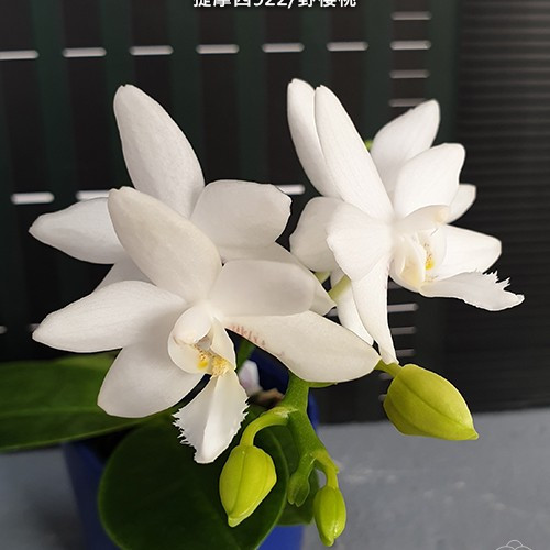 """Орхидеи. Сорт Brother Timothy 'SYK', горшок размер 2.5"""" без цветов"""