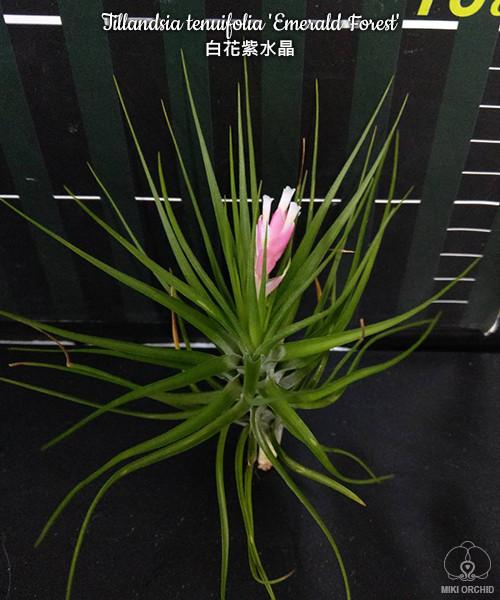 Тилландсия Tillandsia tenuifolia 'Emerald Forest'