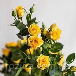 """Саджанці троянди """"Єллоу Бейбі """""""