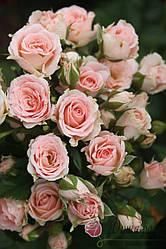 """Саджанці троянди """"Лідія"""""""