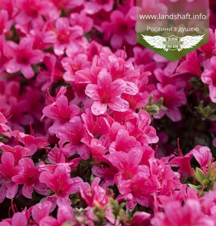 Azalea japonica 'Drapa', Азалія японська 'Драпа',C2 - горщик 2л