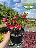 Azalea japonica 'Drapa', Азалія японська 'Драпа',C2 - горщик 2л, фото 2
