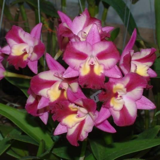 """Підлітки орхідеї. Каттлея Sogo doll little angel, розмір 1.7"""" без квітів"""