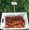 Семена томата Сомма F1 5000 семян Nunhems