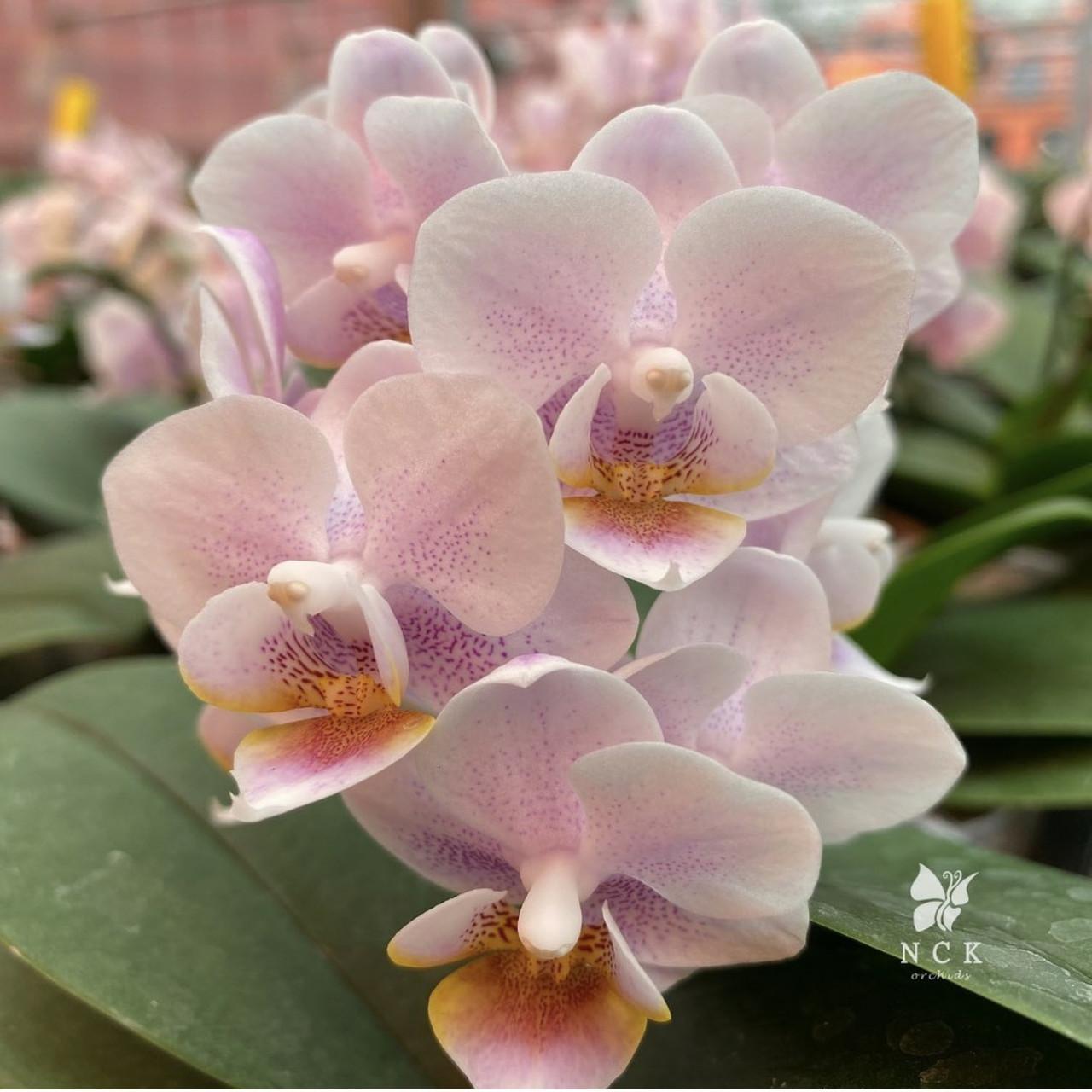 """Уценка, сняты листья. Орхидея, горшок 2.5"""", без цветов. Сорт 01004"""