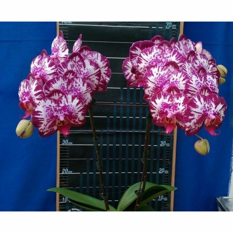 Орхидея Сорт Lianher Focus  размер 3 без цветов