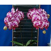 Орхидея Сорт Lianher Focus  размер 3 без цветов, фото 1